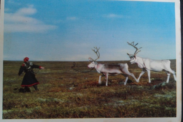 Reindeer Norway 1958